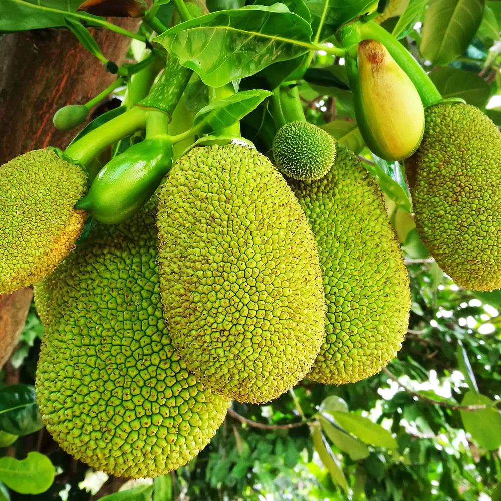 Jackfrucht, bio 150 g