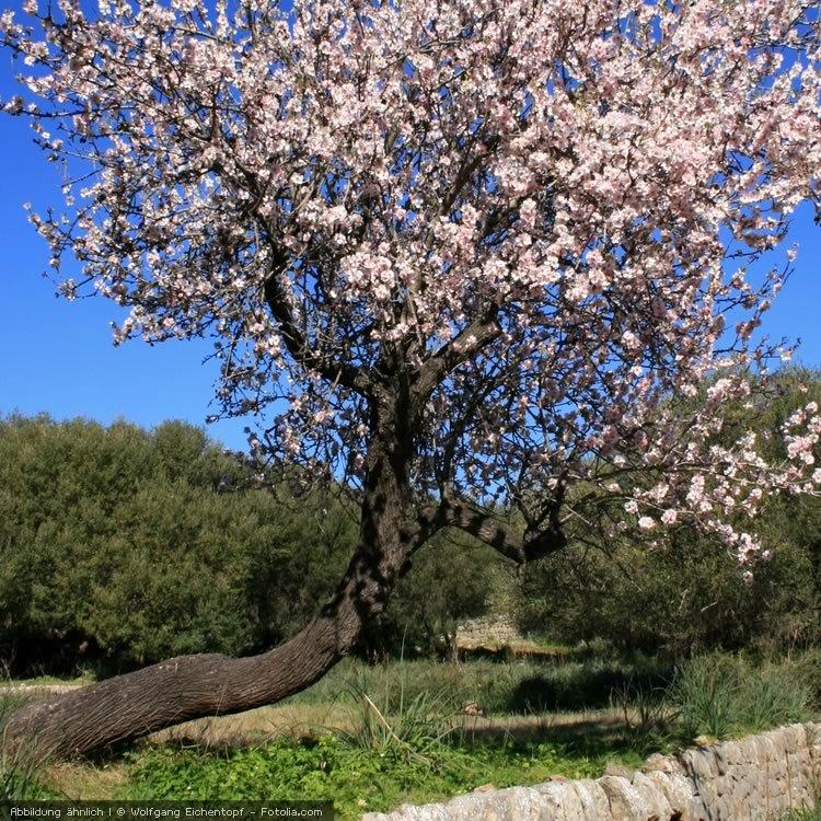Mandelbaum mit Blueten
