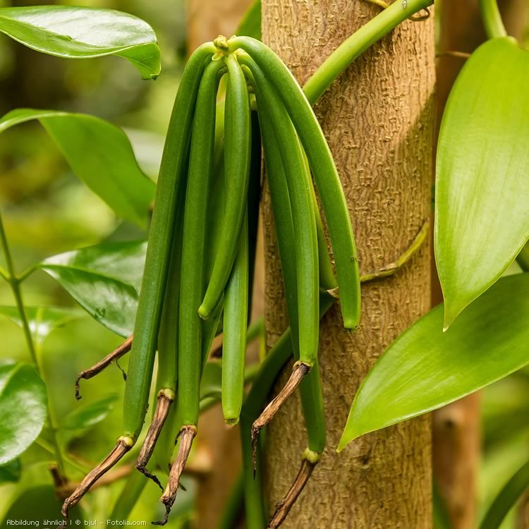 Vanille-Pflanze